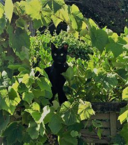 Ms Whiskey enjoying the morning sun amongst the grapes!